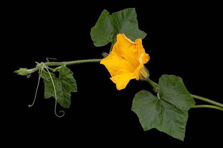 Yellow flower of pumpkin, isolated on black background Stok Fotoğraf