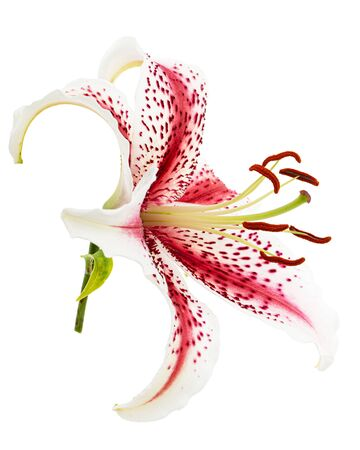 Big beautiful flower of asian tiger lily, , isolated on white background