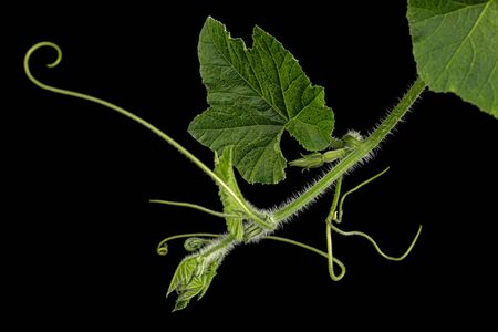 Green foliage of pumpkin, isolated on black background Stok Fotoğraf