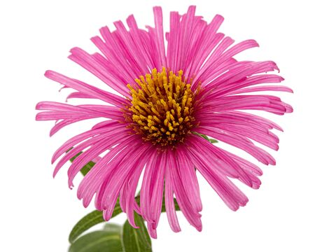 Pink  flower of aster, isolated on white background