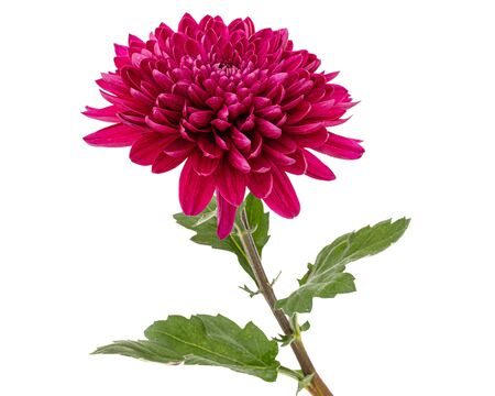Red chrysanthemum flower, isolated on white background