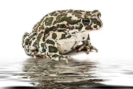 Toad green, lat. Bufo viridis, reflection on the surface of the water, isolated on white background