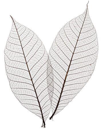 Two skeletonized leaves isolated on white background