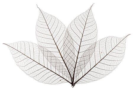 Vier skelettierte Blätter isoliert auf weißem Hintergrund