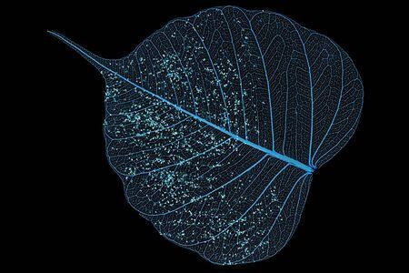 Single skeleton leaf isolated on black background