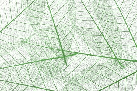 Background from skeletonized leaves isolated on white