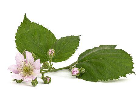 Flowers of blackberry, lat. Rubus fruticosus, isolated on white background