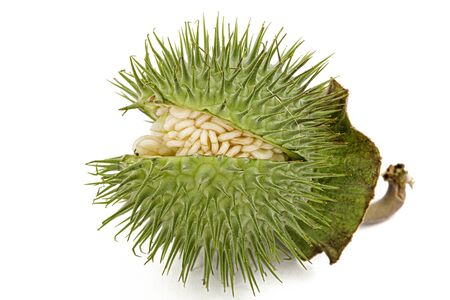 Datura fruit, spiny capsule with seeds, jimsonweed, dope, stramonium, thorn-apple, devil's weed, hell's bells, isolated on white background