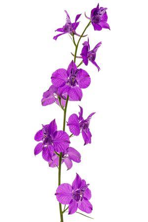 Violet flower of wild delphinium, larkspur flower, isolated on white background Stock Photo