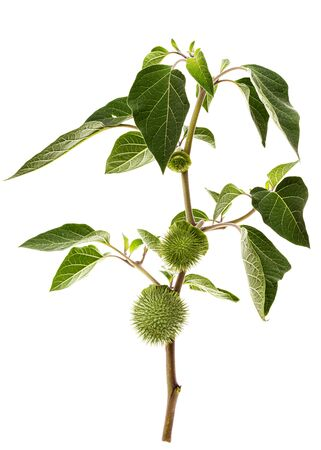 Branch with datura fruit, spiny capsule with seeds, jimsonweed, dope, stramonium, thorn-apple, devil's weed, hell's bells, isolated on white background
