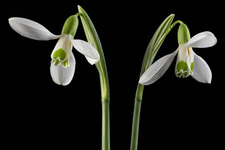 Two white flower of snowdrop, lat. Galanthus nivalis, isolated on black background