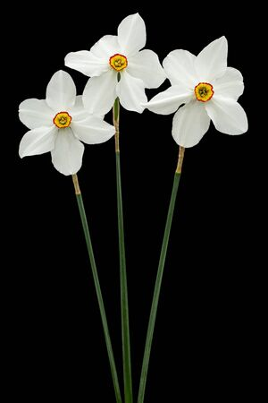 Three flowers of white Daffodil (narcissus), isolated on black background Stock Photo