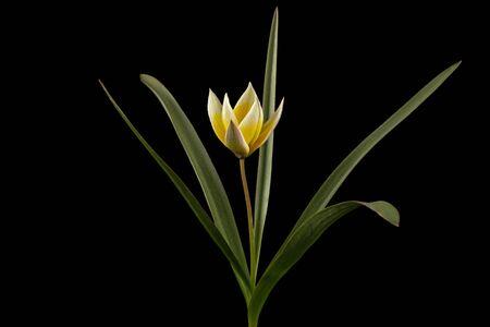 Flower of tulipa Tarda, botanical tulip, isolated on black background