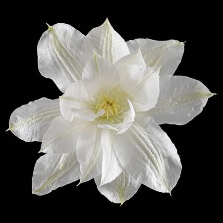 White flower of clematis, isolated on black background Banque d'images