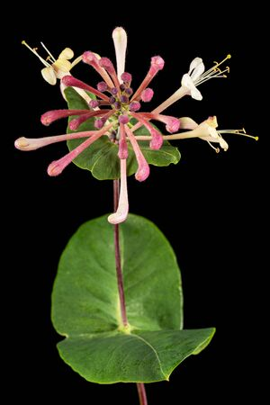 Flowers of honeysuckle, lat. Lonicera caprifolium, isolated on black background
