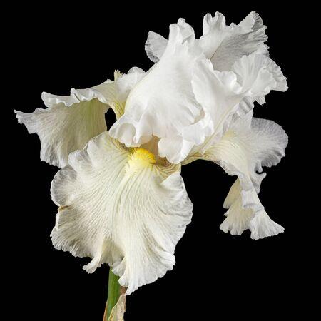 White flower of iris close-up, isolated on black background