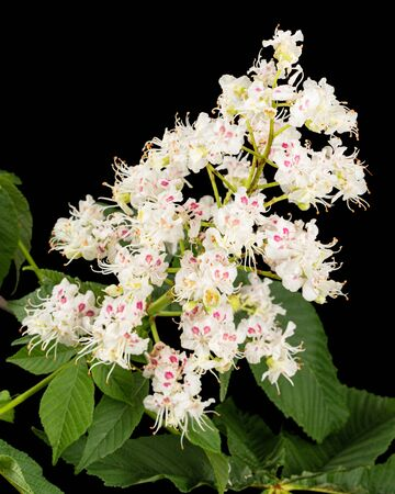 White chestnut flowers and leaf (Aesculus hippocastanum), isolated on black background