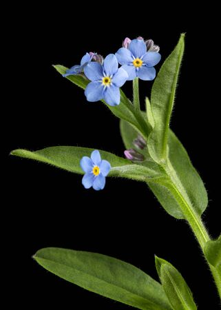 Blue flower of forget-me-not, lat. Myosotis arvensis, isolated on black background