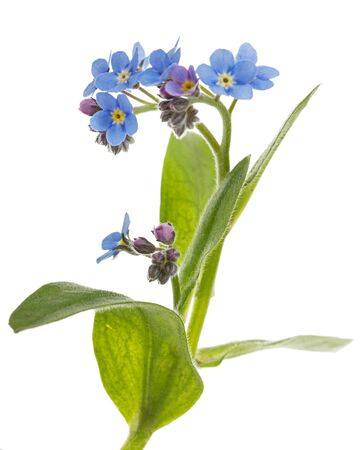 Blue flower of forget-me-not, lat. Myosotis arvensis, isolated on white background Stock Photo