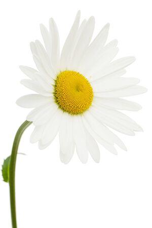White flower of chamomile, lat. Matricaria, isolated on white background Stock Photo