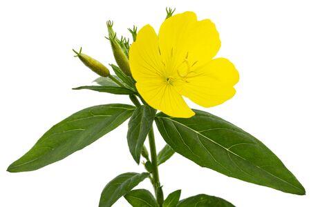 Fleur d'onagre jaune, lat. Oenothera, isolé sur fond blanc