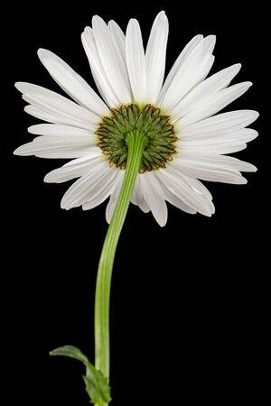 White flower of chamomile, lat. Matricaria, isolated on black background Stockfoto