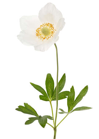 White flower of anemone, isolated on white background