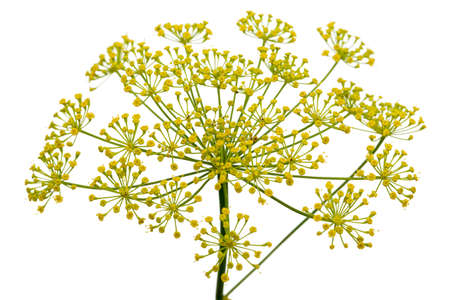 Umbrella flower of Dill, used in kitchen cooking to flavor, isolated on white background