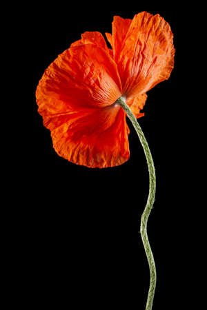 Red flower of poppy, lat. Papaver, isolated on black background