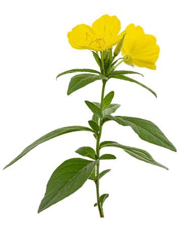 Flower of yellow Evening Primrose, lat. Oenothera, isolated on white background Stock fotó
