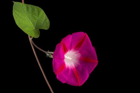 Flower of ipomoea, Japanese morning glory, convolvulus, isolated on black background
