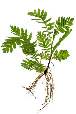 Young sprout of tansy with roots, lat. Tanacetum vulgare, isolated on white background