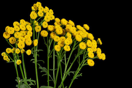 Flowers the medicinal plant of tansy, lat. Tanacetum vulgare, isolated on black background