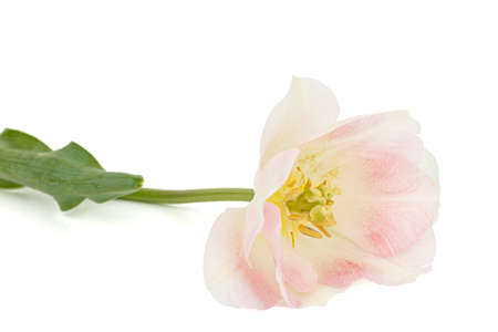 Pink flowers of Angelique tulip, isolated on white background