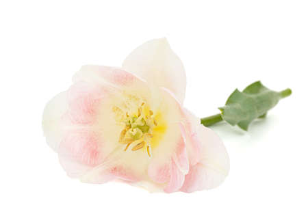 Pink flowers of Angelique tulip, isolated on white background Banque d'images