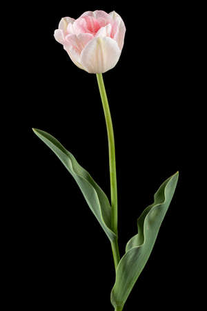 Pink flowers of Angelique tulip, isolated on black background