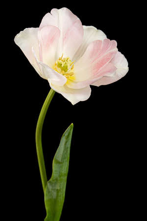 Pink flowers of Angelique tulip, isolated on black background Banque d'images