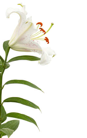Big white-pink flower of oriental lily, isolated on white background Archivio Fotografico