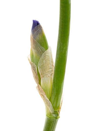 Bud of violet iris flower, isolated on white background