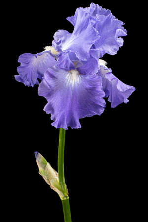 Violet flower of iris, isolated on black background