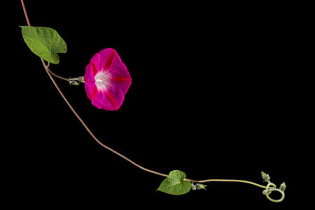 Pink flower of ipomoea, Japanese morning glory, convolvulus, isolated on black background