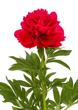 Red flower of peony, isolated on white background