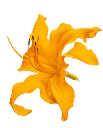 Orange flower of daylily, lat. Hemerocallis, isolated on white background