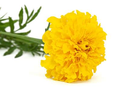 Yellow flower of marigold (lat. Tagetes), isolated on white background