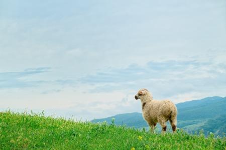 Lamb grazing on the picturesque landscape