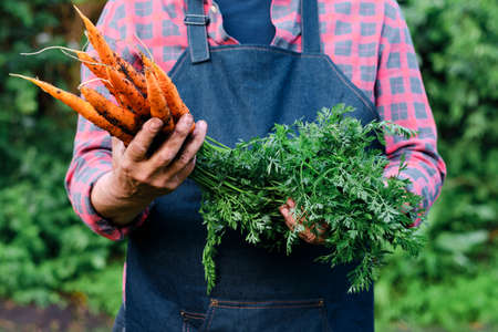 Fresh organic vegetables. Healthy food concept. Carrots in farmers hands Stockfoto