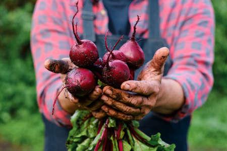 Bunch of Beetroot harvest in farmer hands. Standard-Bild
