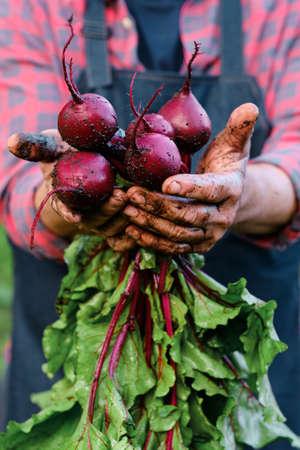 Bunch of Beetroot harvest in farmer hands Standard-Bild