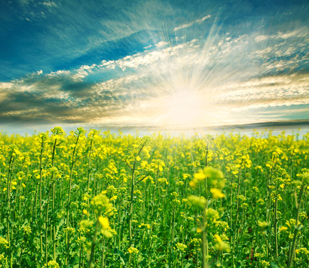 Blooming green field on a background of the rising sun in the clouds photo