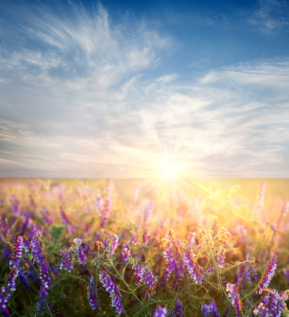 Dawn sky over the flower field, nature background